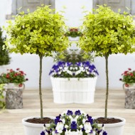 Pair of Euonymus Emerald & Gold - Golden Evergreen Standard Topiary Trees
