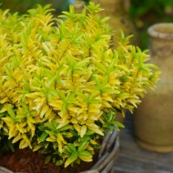 Euonymus japonica 'Happiness'