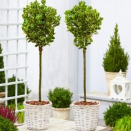 Pair of Euonymus Kathy - Silver Variegated Evergreen Standard Topiary Trees - with White Baskets