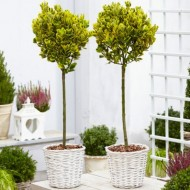 Pair of Euonymus  ovatus Aureus - Evergreen Golden Variegated Standard Topiary Trees