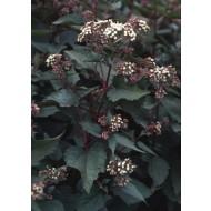 Eupatorium rugosum Chocolate - White Snakeroot