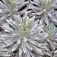 Euphorbia characias 'Silver Swan' - Variegated Spurge