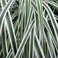 Carex oshimensis Evercolour® 'Everest' - Evergreen Japanese Sedge