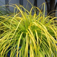 Carex 'Everillo' - Evergreen Japanese Sedge - Pack of THREE Plants