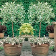 Pair of Euonymus Emerald Gaiety - Variegated Evergreen Standard Topiary Trees
