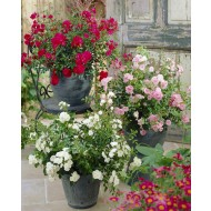 Ground Cover Fairy Rose Collection - Pack of 6 Plants in Red, Pink & White