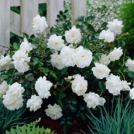 Ground Cover Fairy Rose White