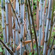 Fargesia papyrifera BLUE DRAGON - Blue Stem Clumping Umbrella Bamboo