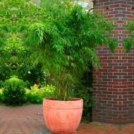 Fargesia rufa - Compact Clumping Umbrella or Fountain Bamboo