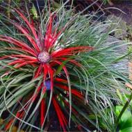 SPECIAL DEAL - Fascicularia bicolor - Hardy bromeliad plant