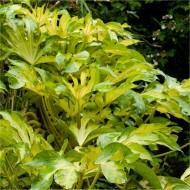 Fatsia japonica Annelise - Golden variegated 'Murakumo Nishiki' Japanese Aralia