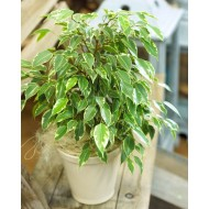 Dwarf Variegated Weeping Fig - Ficus 'KINKY' with White Display Pot