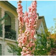 Japanese Flagpole Flowering Cherry Tree - Prunus amanagawa - 200-250cms