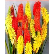 Kniphofia Flamenco - Red Hot Poker