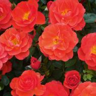 Rose Flex