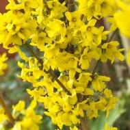 Forsythia intermedia spectabilis Lynwood Gold