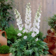 Delphinium Magic Fountain White