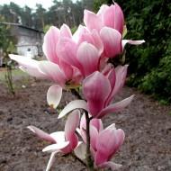 Magnolia Fragrant Cloud (Dan Xin)