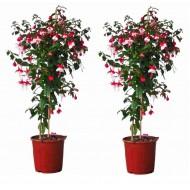 Pair of Fuchsia Tree Standards 'Britney' - Gorgeous Patio Fuchsia Trees