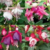 Fuchsia Collection - Beautiful Bella - Pack of Three