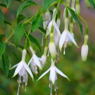 Fuchsia Hawkshead - White Hardy Fuchsia