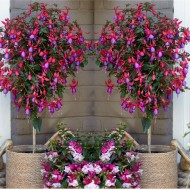 PRE-ORDER: Pair of Fuchsia Tree Standards 'Purple-Red Display' - Gorgeous Patio Fuchsia Trees