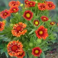 Gaillardia x grandiflora Fanfare Blaze - Blanket Flower