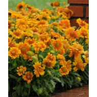 Gaillardia Arizona Apricot - Beautiful Blanket Flower Plants