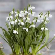 SPECIAL DEAL - Snowdrops - Galanthus elwesii BELUGA - RARE variety
