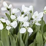 SPECIAL DEAL - Snowdrops - Galanthus nivalis POLAR BEAR - RARE variety