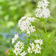 Galium Odoratum - Sweet Woodruff