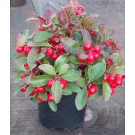 Gaultheria procumbens - Partridge Berry ground cover Shrub - Pack of THREE Plants