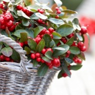 SPECIAL CHRISTMAS DEAL - Gaultheria procumbens - Festive Tea Berry - Just £1!