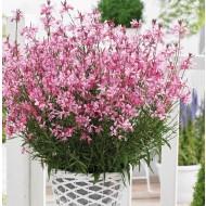 Gaura lindheimeri Gambit Compact Pink