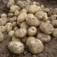 Gemson - 2nd Early Seed Potatoes - Pack of 10
