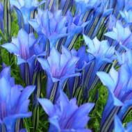 Gentiana sino-ornata - Showy Chinese Blue Gentian