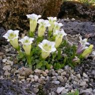 Gentiana scabra Alba - White Gentian