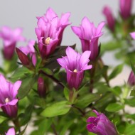 Gentiana scabra Quinn Rose - Soft Pink Flowering Gentian Plant