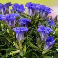 Gentiana scabra Blue Heart - Gentian