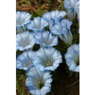 Gentiana Mariska - Baby Blue Gentian