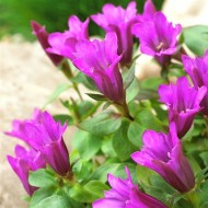 Gentiana scabra Little Pinkie - Pink-Purple Gentian Plant