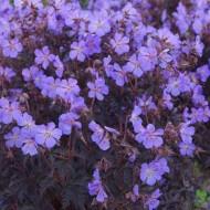 Geranium pratense Black Beauty - Dark Reiter Hardy Geranium
