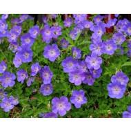 Geranium Rozanne - 'Jolly Bee' Hardy Geranium