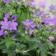 Geranium sylvaticum 'Mayflower' - Wood Cranesbill
