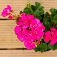 Geranium Toscana Bright Hot Pink
