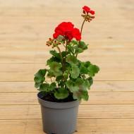 Geranium Toscana Red