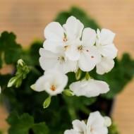 Geranium Toscana White