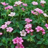 Geranium × oxonianum 'Wargrave Pink'