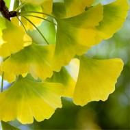 Ginkgo biloba - Maiden Hair Tree - Stunning Autumn Colour