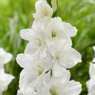 Gladiolus White - Pack of 25 Gladioli Corms